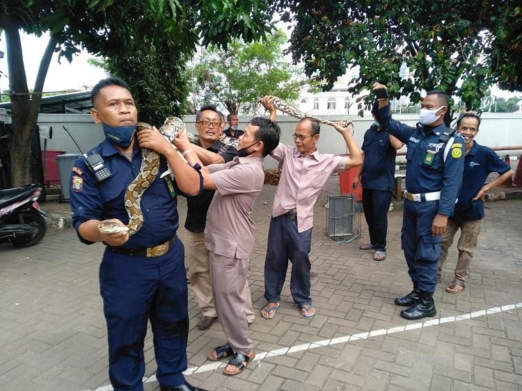 Pegawai PN Jaktim Temukan Ular Panjang Tiga Meter